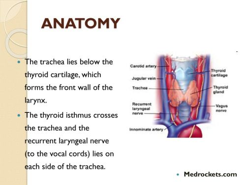 small resolution of anatomy the trachea lies below the thyroid cartilage which forms the front wall of the
