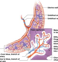 placenta fetal capillaries umbilical vein umbilical arteries uterine wall maternal blood  [ 1024 x 768 Pixel ]