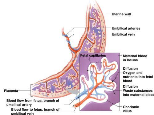 small resolution of placenta fetal capillaries umbilical vein umbilical arteries uterine wall maternal blood