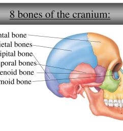 8 bones of the cranium 1 frontal bone 2 parietal bones [ 1024 x 768 Pixel ]