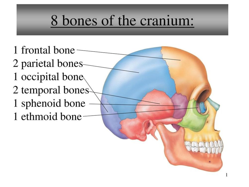 medium resolution of 8 bones of the cranium 1 frontal bone 2 parietal bones