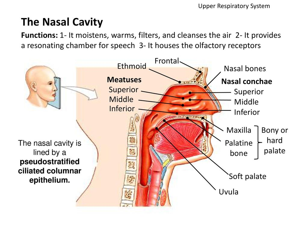 hight resolution of upper respiratory system