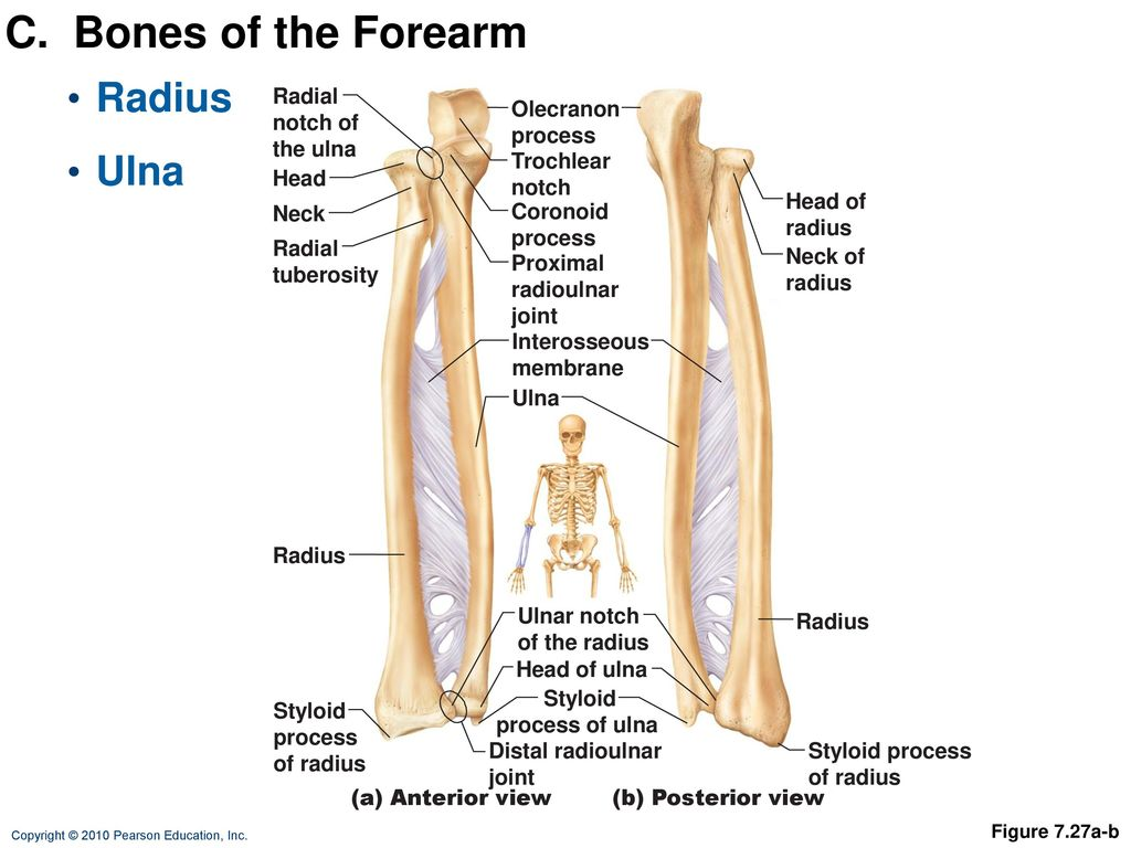 hight resolution of c bones of the forearm radius ulna radial notch of the ulna olecranon