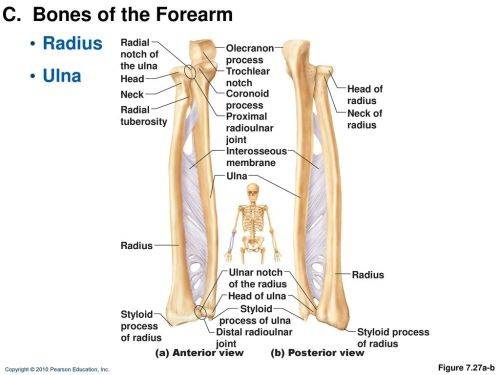 small resolution of c bones of the forearm radius ulna radial notch of the ulna olecranon