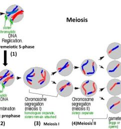 9 meiosis 1 2 3 premeiotic s phase meiotic prophase 4 meiosis ii [ 1024 x 768 Pixel ]