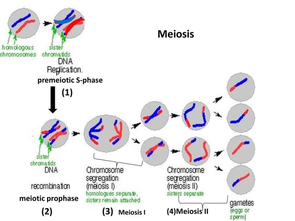 medium resolution of 9 meiosis 1 2 3 premeiotic s phase meiotic prophase 4 meiosis ii
