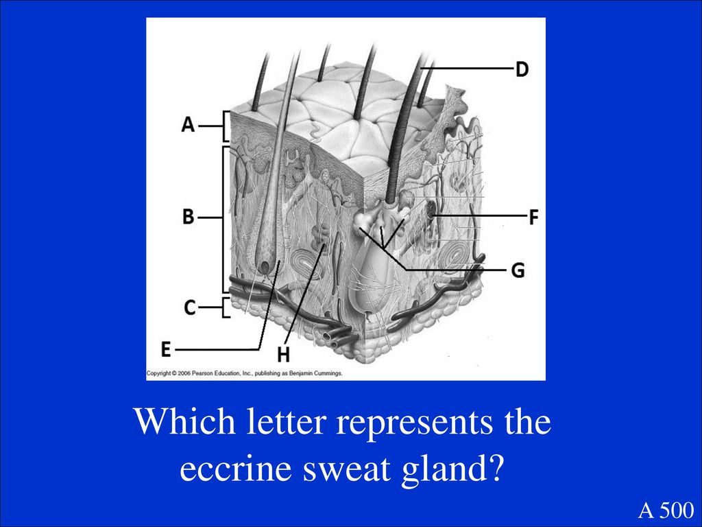 hight resolution of 12 which letter represents the eccrine sweat gland