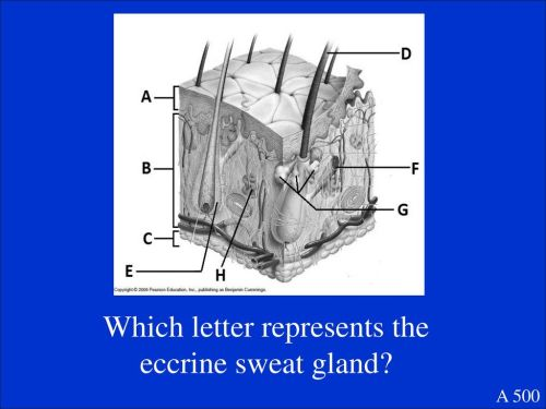 small resolution of 12 which letter represents the eccrine sweat gland