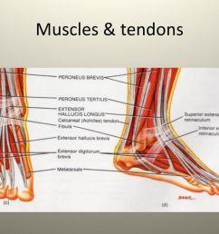 9 muscles tendons [ 1024 x 768 Pixel ]