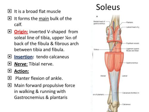 small resolution of 5 soleus