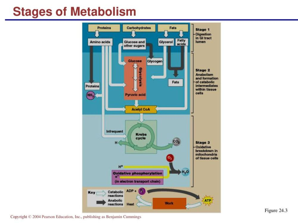 medium resolution of 22 stages of metabolism figure 24 3