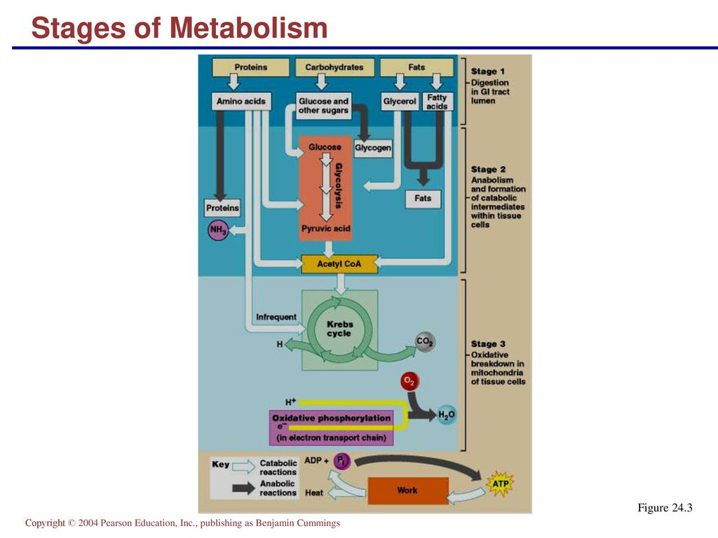 hight resolution of 22 stages of metabolism figure 24 3