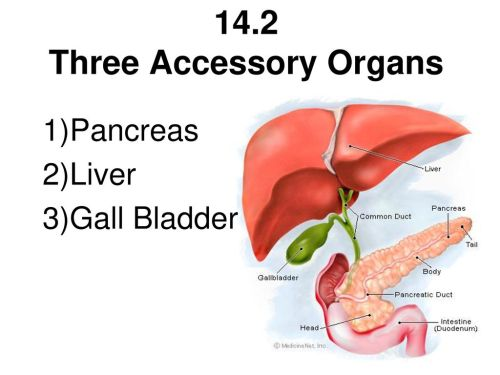 small resolution of 14 2 three accessory organs