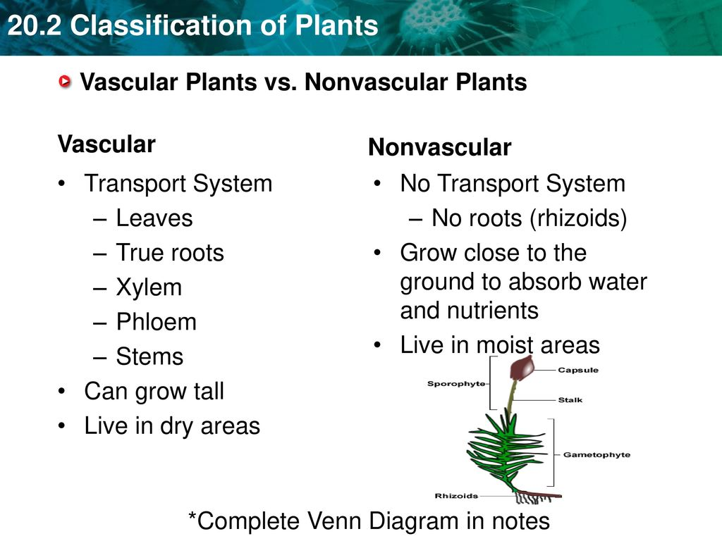 Key Concept Plants Can Be Classified Into Nine Phyla