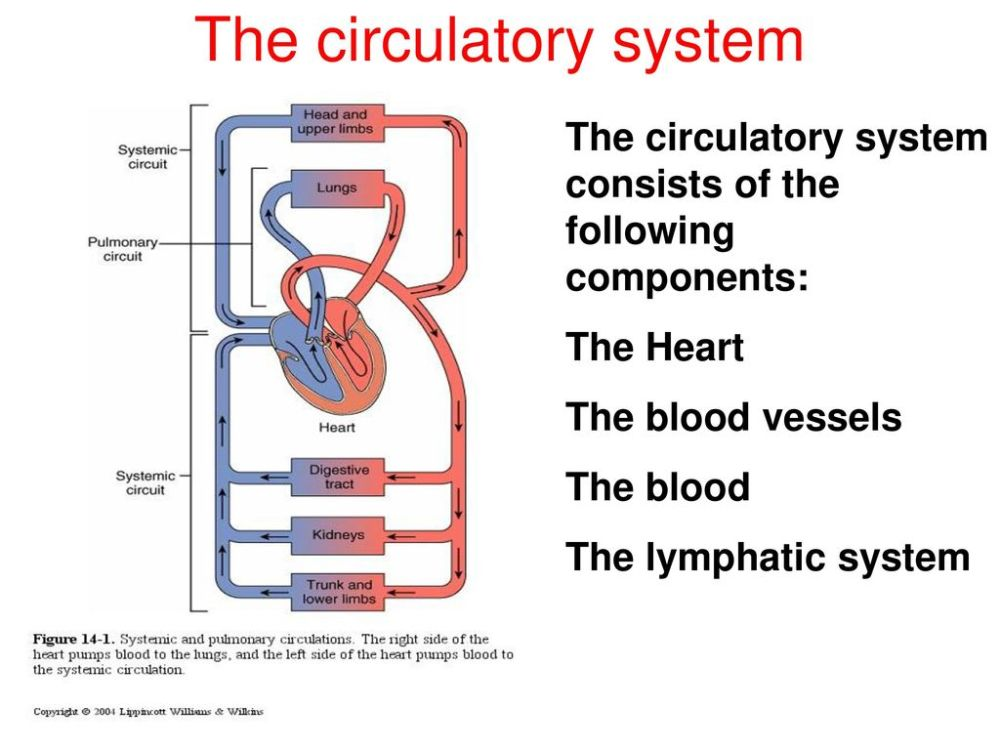 medium resolution of 5 the circulatory system