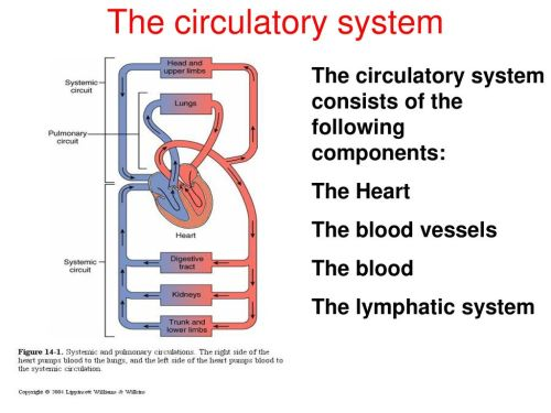 small resolution of 5 the circulatory system