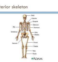 45 anterior skeleton [ 1024 x 768 Pixel ]