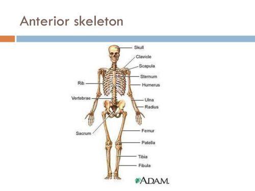 small resolution of 45 anterior skeleton