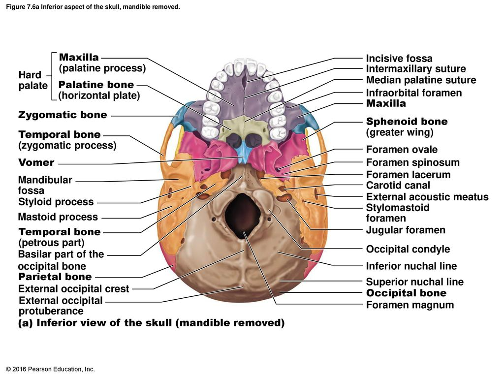 unlabeled skull diagram inferior view 2004 ford f250 stereo wiring five ineedmorespace co 2016 pearson education inc ppt download rh slideplayer com blank diagrams anatomy