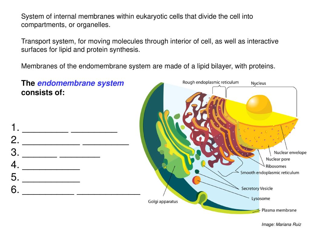 eukaryotic endomembrane system cell diagram server room wiring lecture 5 eukaryotes college of dupage ppt download 14 6 internal membranes within cells
