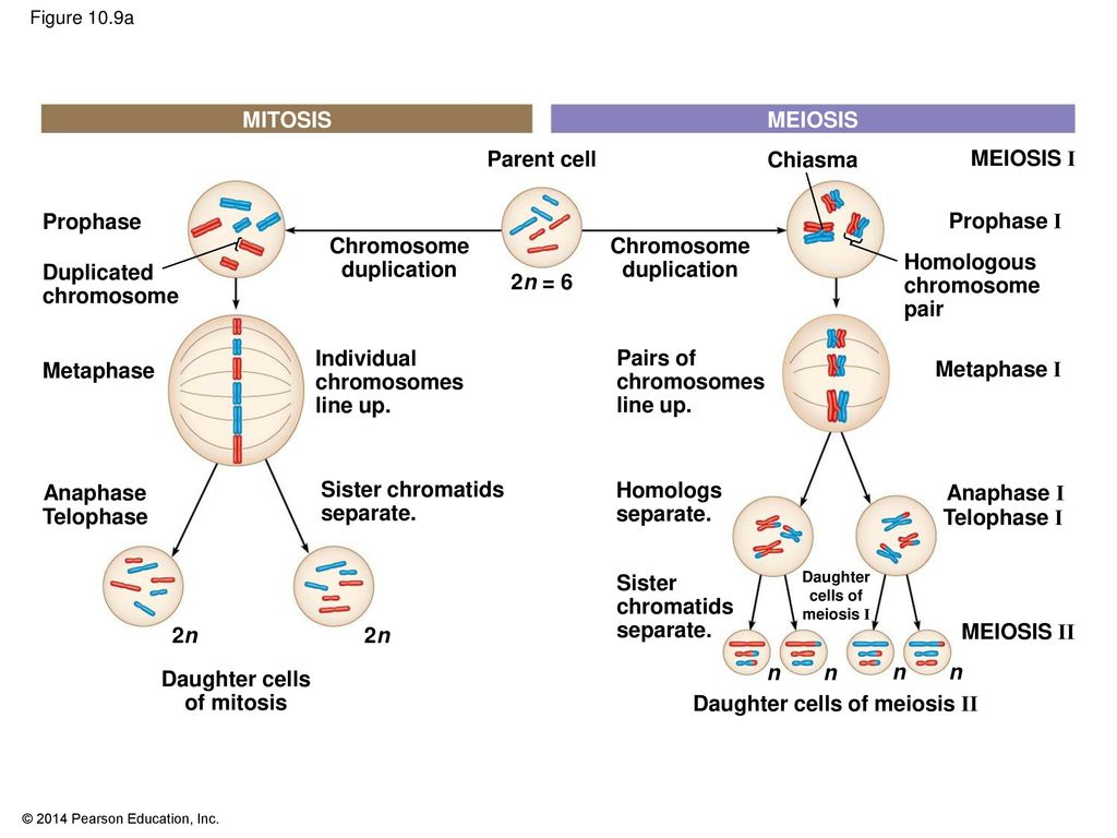 hight resolution of daughter cells of meiosis ii