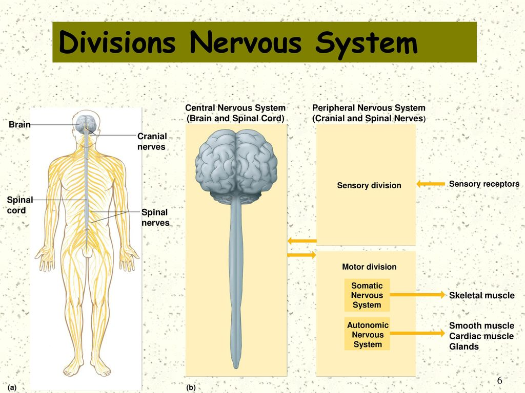Motor Division Of The Nervous System
