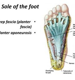 1 sole of the foot deep fascia planter fascia planter aponeurosis [ 1024 x 768 Pixel ]