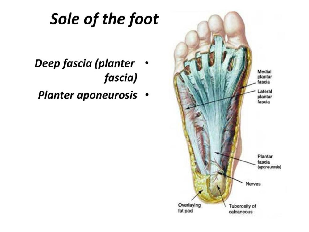 medium resolution of 1 sole of the foot deep fascia planter fascia planter aponeurosis