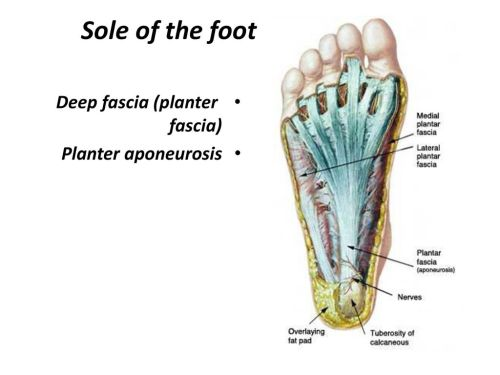 small resolution of 1 sole of the foot deep fascia planter fascia planter aponeurosis