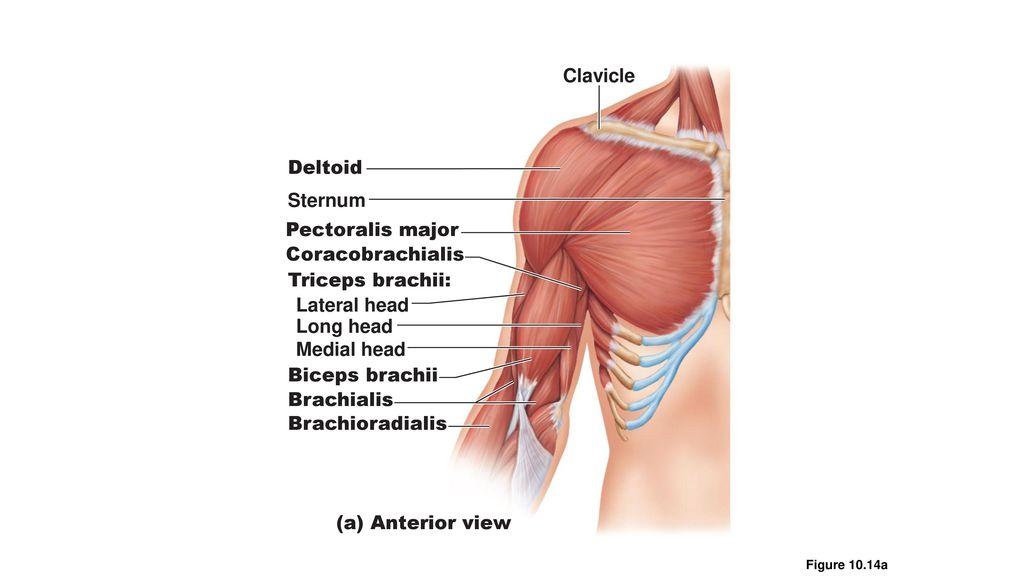 triceps brachii diagram ml320 engine muscle diagrams ppt download 10 clavicle deltoid sternum pectoralis major coracobrachialis