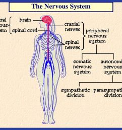 3 the nervous system [ 1024 x 768 Pixel ]
