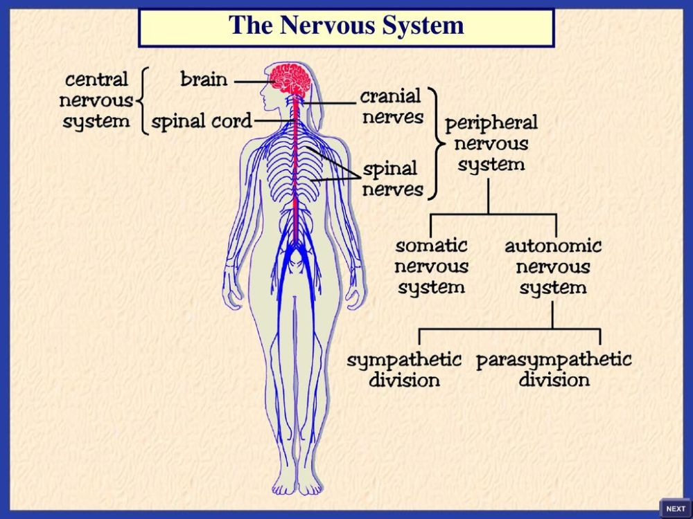 medium resolution of 3 the nervous system
