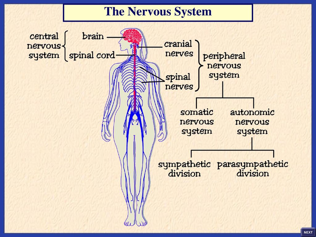 hight resolution of 3 the nervous system