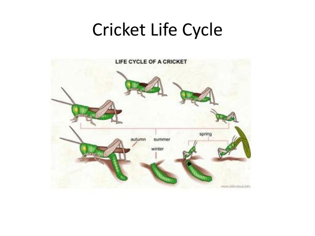 cricket life cycle diagram wiring a double switch www topsimages com metamorphosis insect download jpg 1024x768