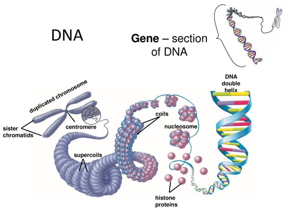 medium resolution of dna gene section of dna dna double helix duplicated chromosome coils
