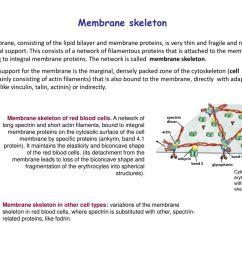 membrane skeleton [ 1024 x 768 Pixel ]