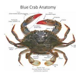 Crab Anatomy Diagram Importance Of Iron Carbon A Blue Wiring Services