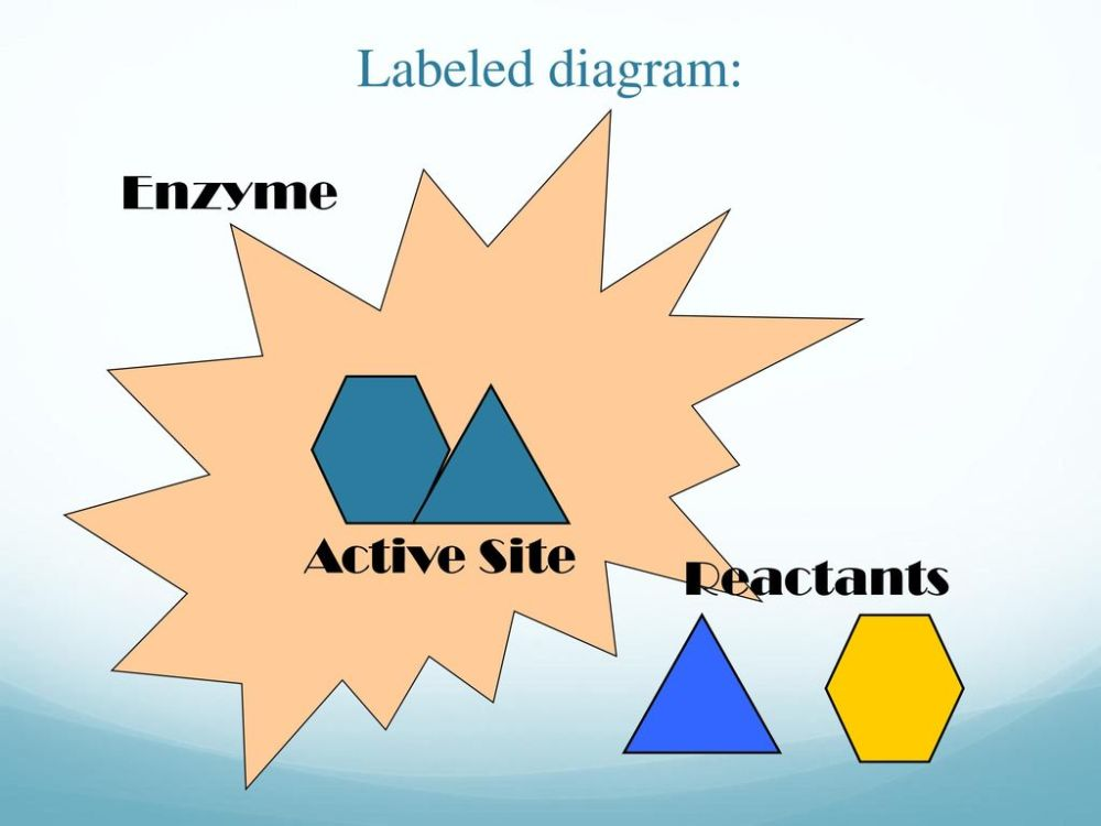 medium resolution of 39 labeled diagram enzyme active site reactants