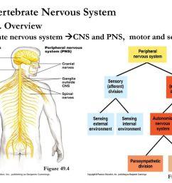 vertebrate nervous system [ 1024 x 768 Pixel ]