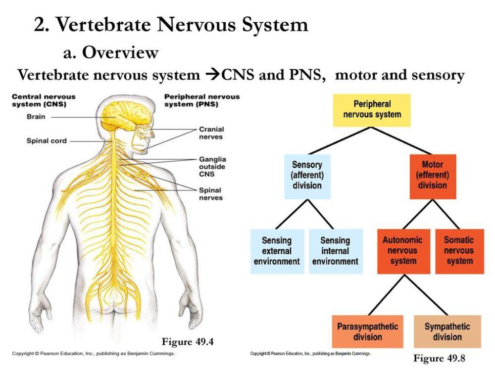 medium resolution of vertebrate nervous system