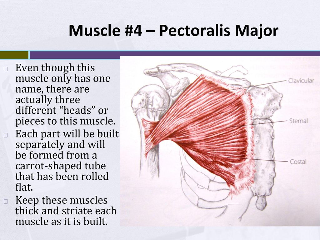 hight resolution of 14 muscle