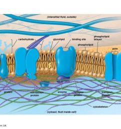 figure 5 1 the plasma membrane [ 1024 x 768 Pixel ]