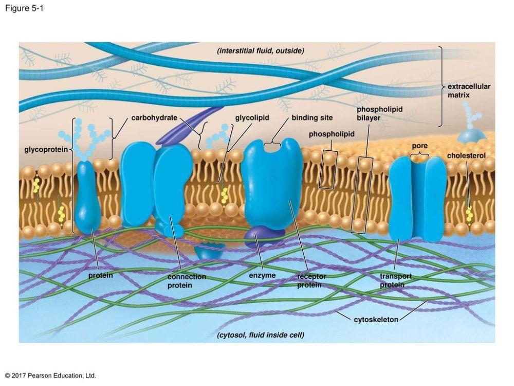medium resolution of figure 5 1 the plasma membrane