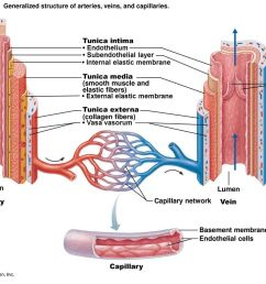 structure of blood vessel walls 5 internal  [ 1024 x 768 Pixel ]