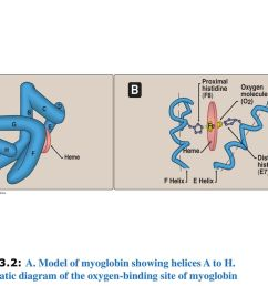 figure 3 2 a model of myoglobin showing helices a to h  [ 1024 x 768 Pixel ]