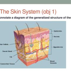 2 7 1 the skin system obj 1 annotate a diagram of the generalized structure of the skin [ 1024 x 768 Pixel ]