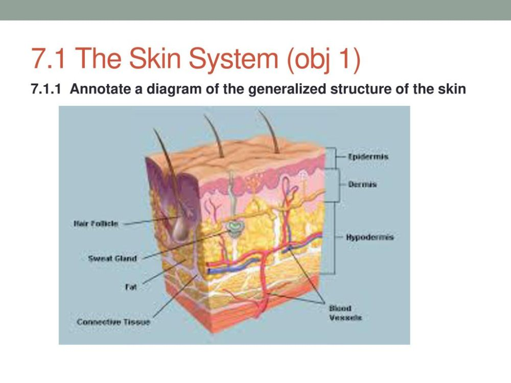 medium resolution of 2 7 1 the skin system obj 1 annotate a diagram of the generalized structure of the skin