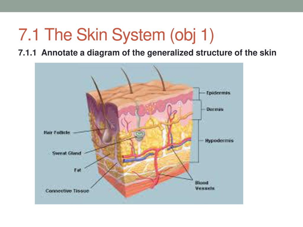hight resolution of 2 7 1 the skin system obj 1 annotate a diagram of the generalized structure of the skin
