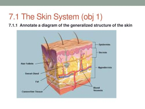 small resolution of 2 7 1 the skin system obj 1 annotate a diagram of the generalized structure of the skin