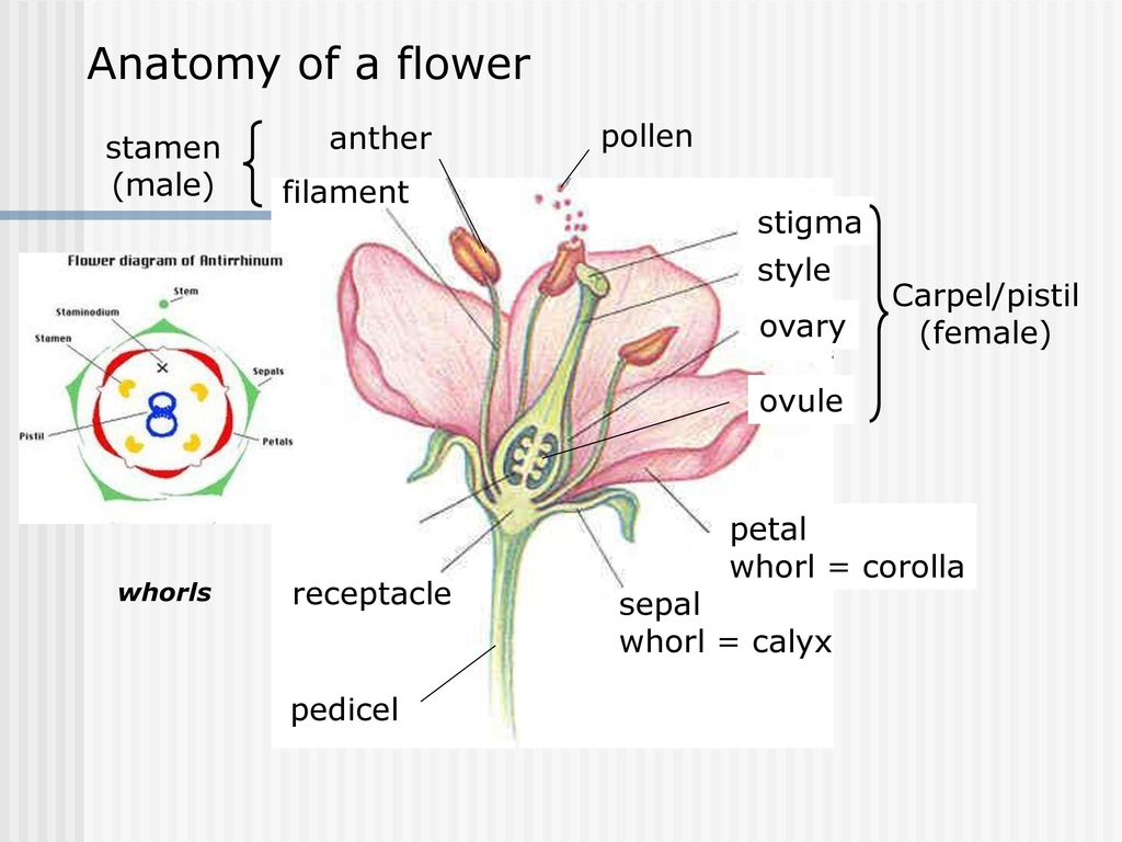 diagram of perfect flower lily wiring for double switch fan and light anatomy a flowers ideas review